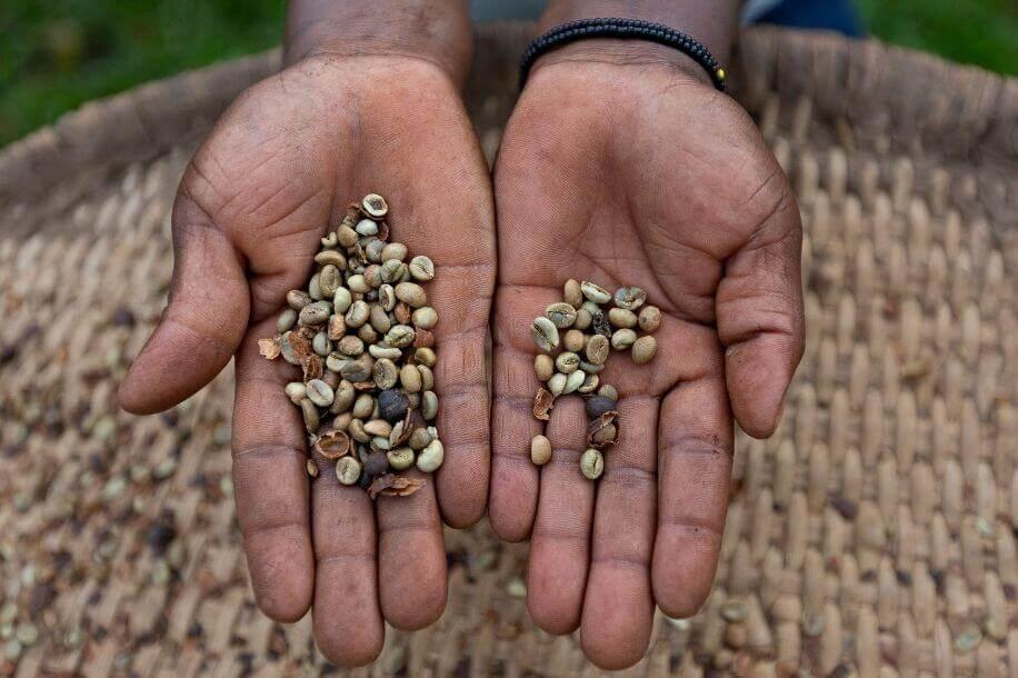 ugandan coffee